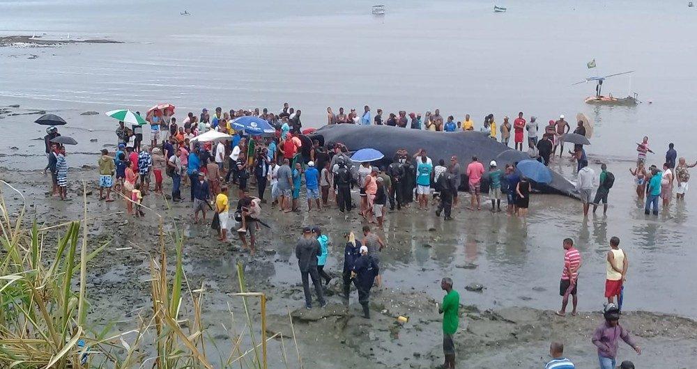 Baleia jubarte morre encalhada na praia de Coutos, em